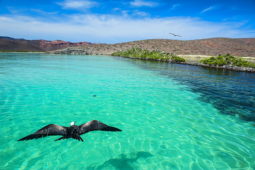 Frigate bird and the turquoise waters of Isla Espiritu Santo, Baja California, Mexico, North America