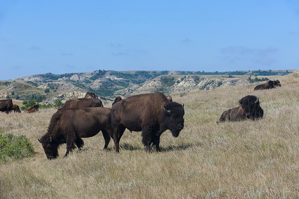 Wild buffalos in the Roosevelt National Park, North Dakota, United States of America, North America