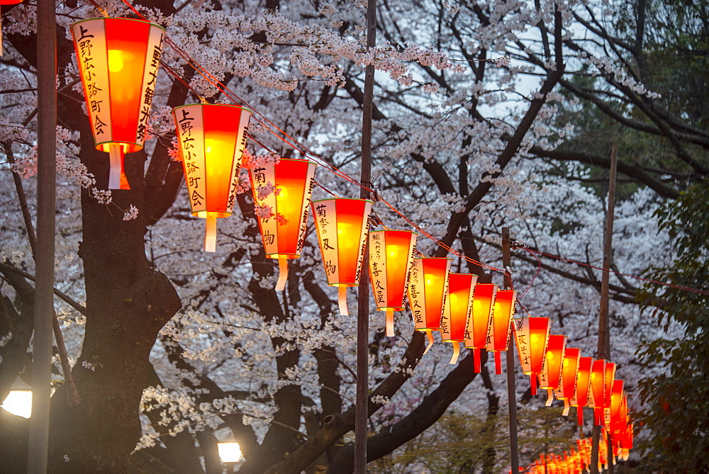 Red lanterns illuminating the cherry blossom in the Ueno Park, Tokyo, Japan, Asia