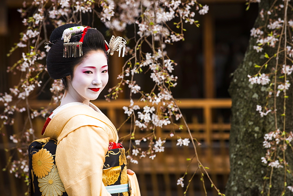 Real Geisha posing before a cherry blossom tree in the Geisha quarter of Gion in Kyoto, Japan, Asia
