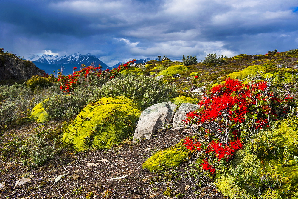 Colourful moss on an island in the Beagle Channel, Ushuaia, Tierra del Fuego, Argentina, South America