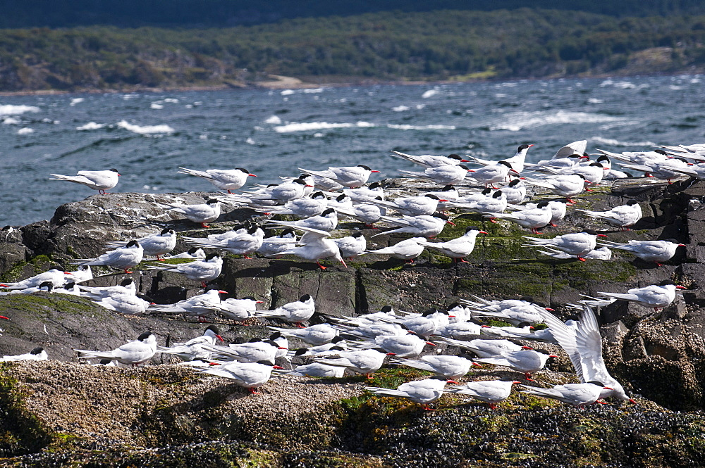South American Tern (Sterna hirundinacea), Beagle Channel, Argentina, South America