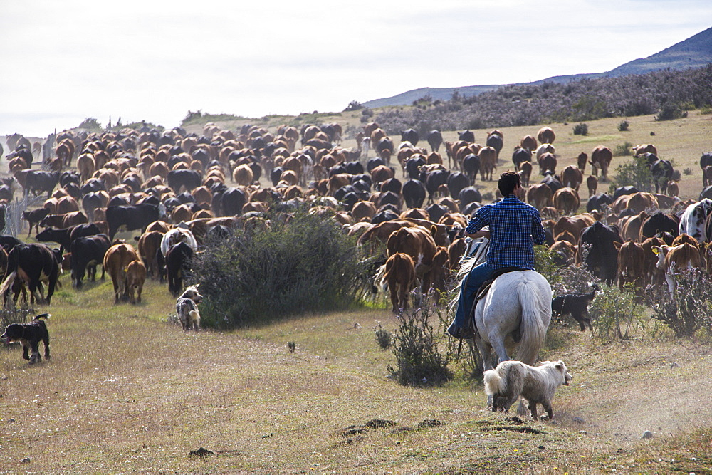 Cattle herd in the Torres del Paine National Park, Patagonia, Chile, South America