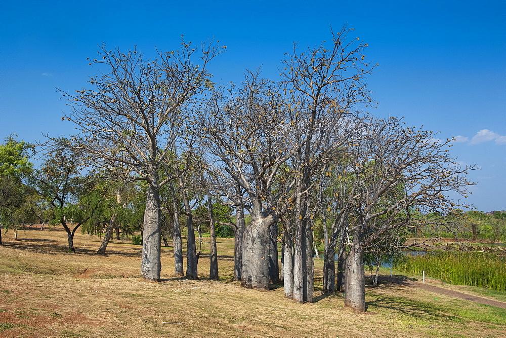 Baobab trees in Kununurra, Kimberleys, Western Australia, Australia, Pacific