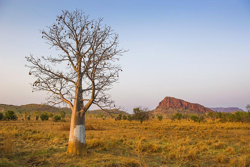 Lonely Baobab tree in the Kimberleys, Western Australia, Australia, Pacific