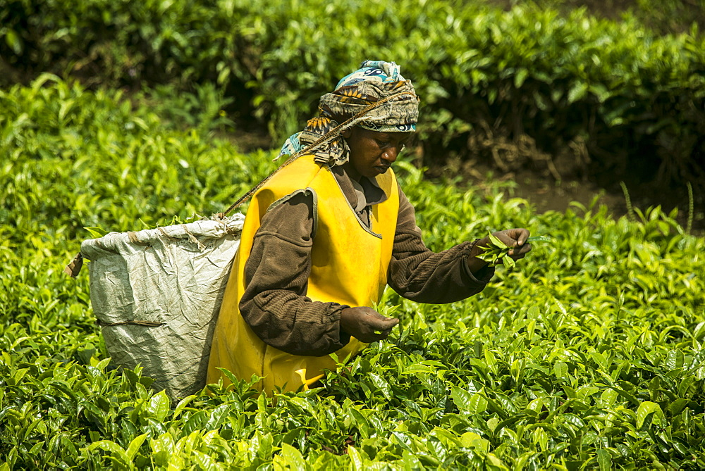 Tea plantation in the Virunga mountains, Rwanda, Africa