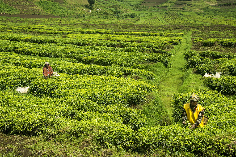 Workers picking tea on a Tea plantation in the Virunga mountains, Rwanda, Africa