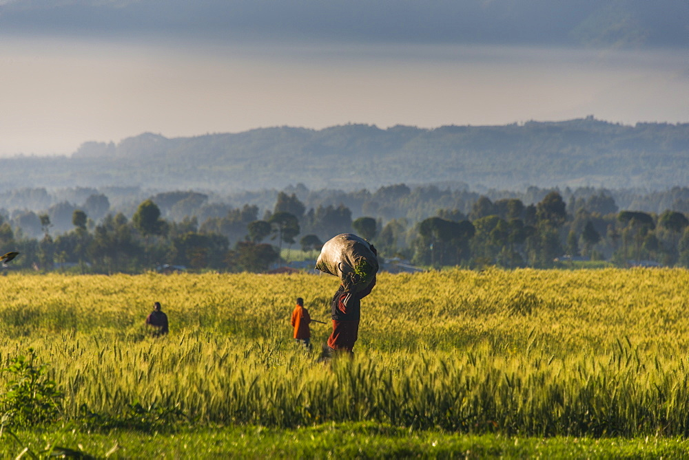 Men walking through a wheat field in the Virunga National Park, Rwanda, Africa