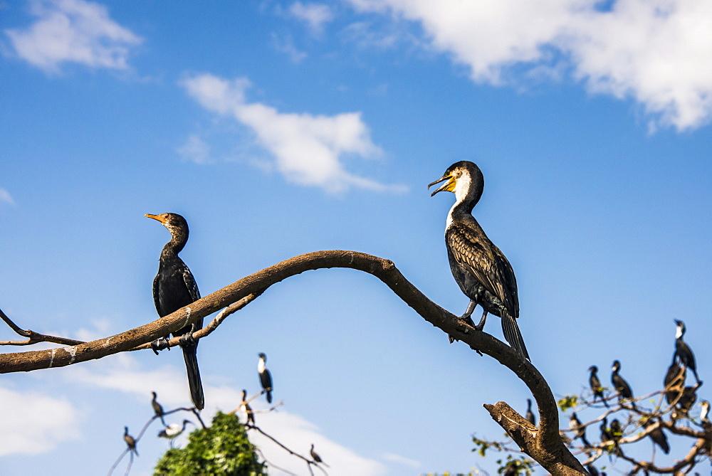 White-breasted cormorant (Phalacrocorax lucidus), Jinja, Uganda, East Africa, Africa