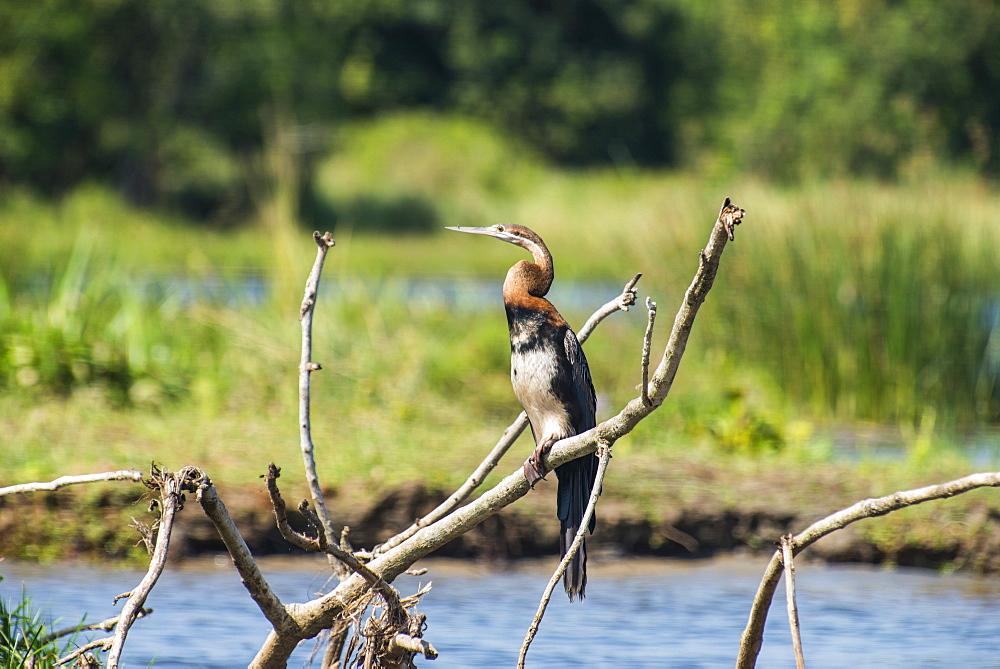 Goliath heron (Ardea goliath), Murchison Falls National Park, Uganda, East Africa, Africa