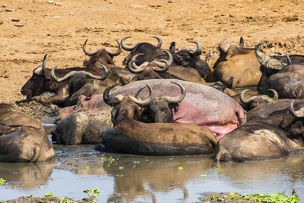 African buffalos (Cape buffalos) (Syncerus caffer), Queen Elizabeth National Park, Uganda, East Africa, Africa