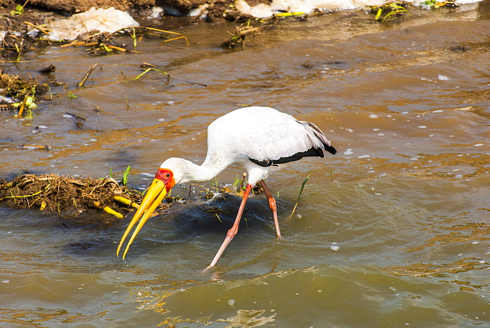 Yellow-billed stork (Mycteria ibis), Queen Elizabeth National Park, Uganda, East Africa, Africa