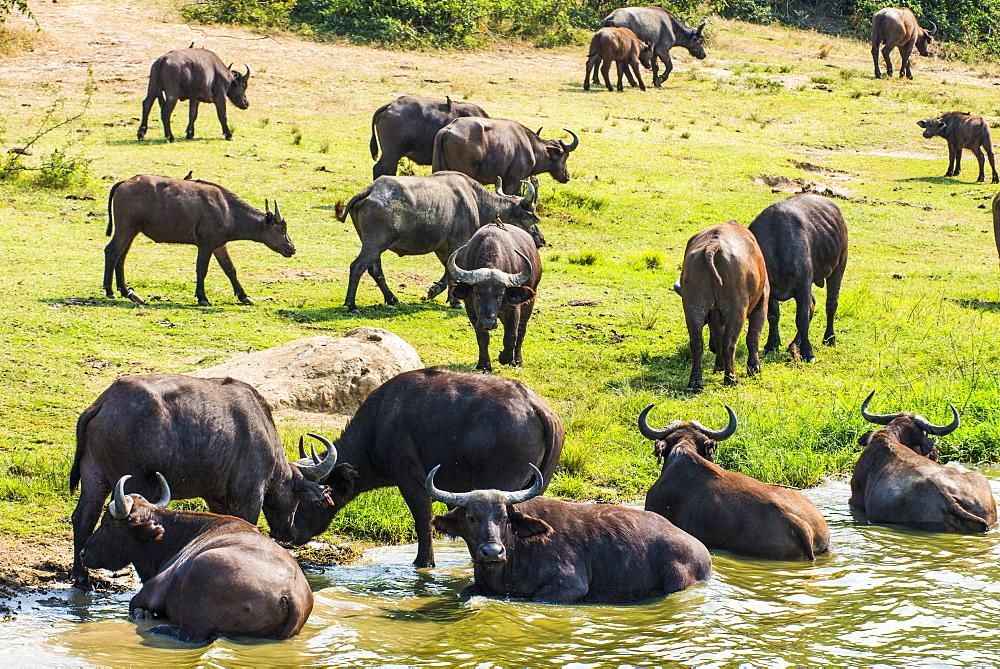 African buffalos (Cape buffalo) (Syncerus caffer), Queen Elizabeth National Park, Uganda, East Africa, Africa