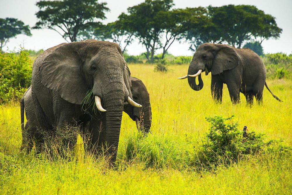 African elephants (Loxodonta africana), Queen Elizabeth National Park, Uganda, East Africa, Africa