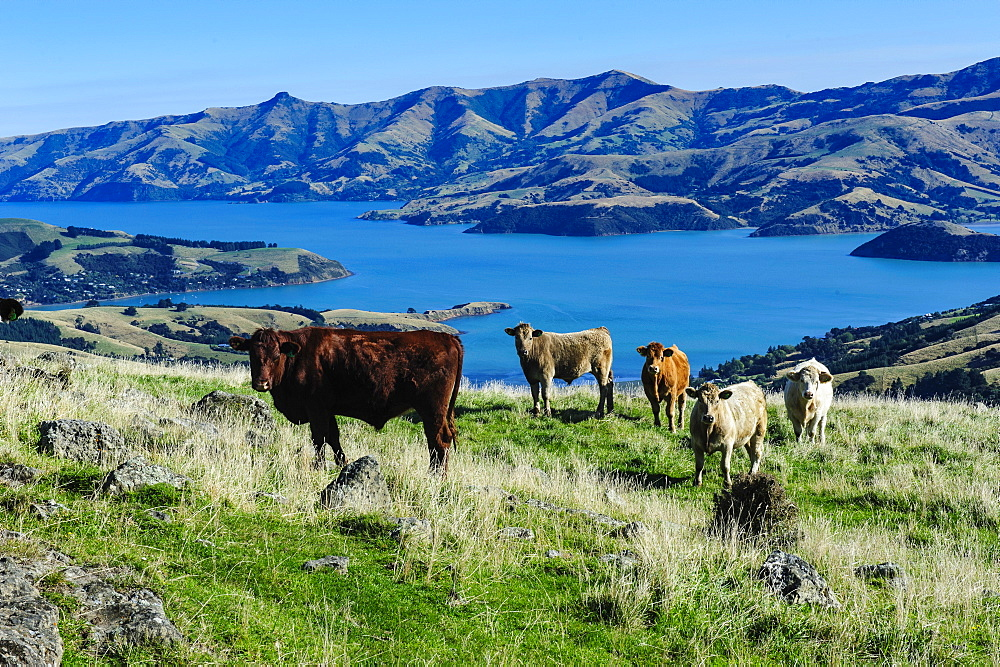 Cows grazing above the Akaroa harbour, Banks Peninsula, Canterbury, South Island, New Zealand, Pacific