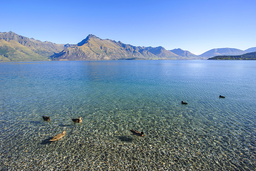 Ducks in the turquoise water of Lake Wakatipu, around Queenstown, Otago, South Island, New Zealand, Pacific