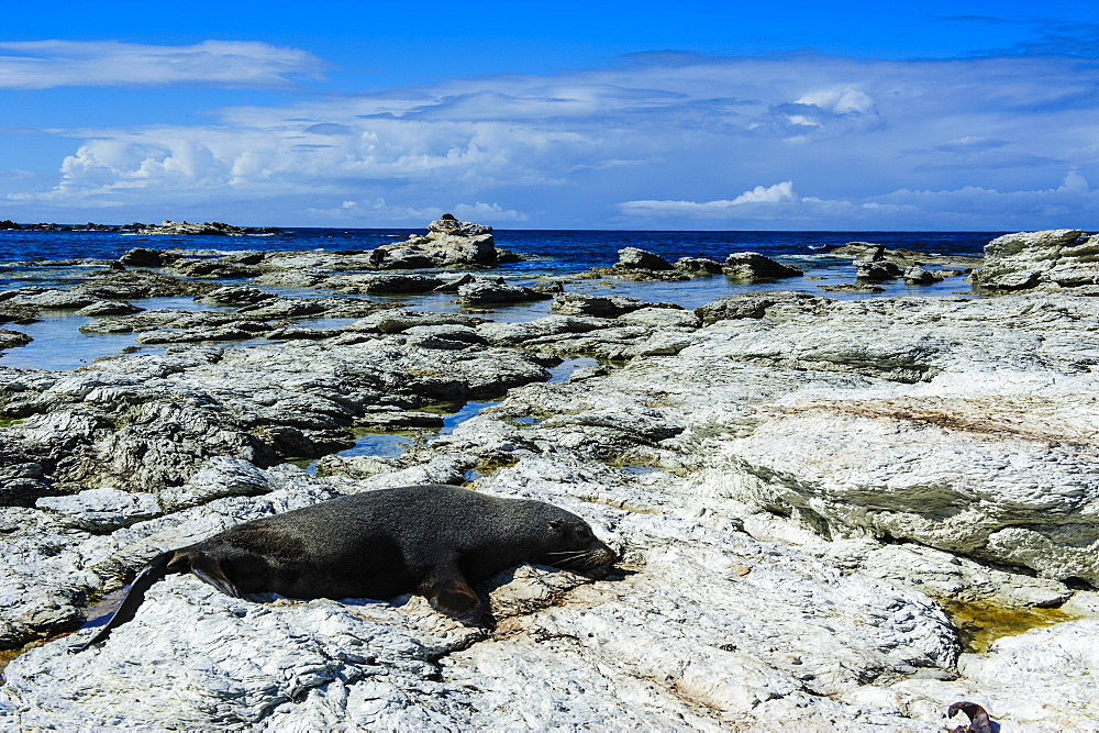 Fur seal (Callorhinus ursinus), Kaikoura Peninsula, South Island, New Zealand, Pacific