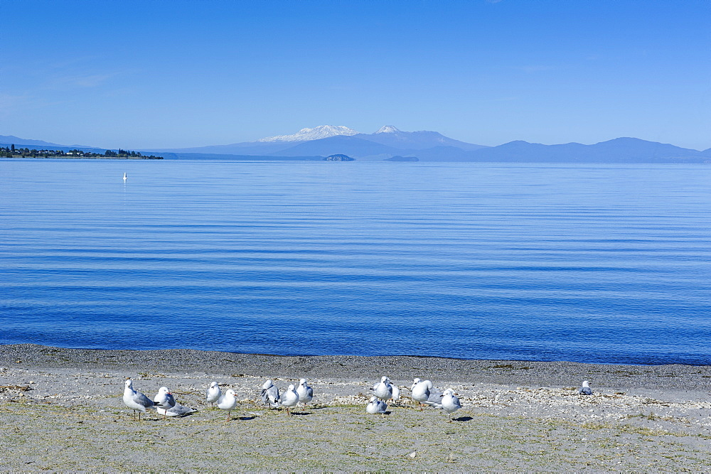 The blue waters of Lake Taupo with the Tongariro National Park in the background, North Island, New Zealand, Pacific