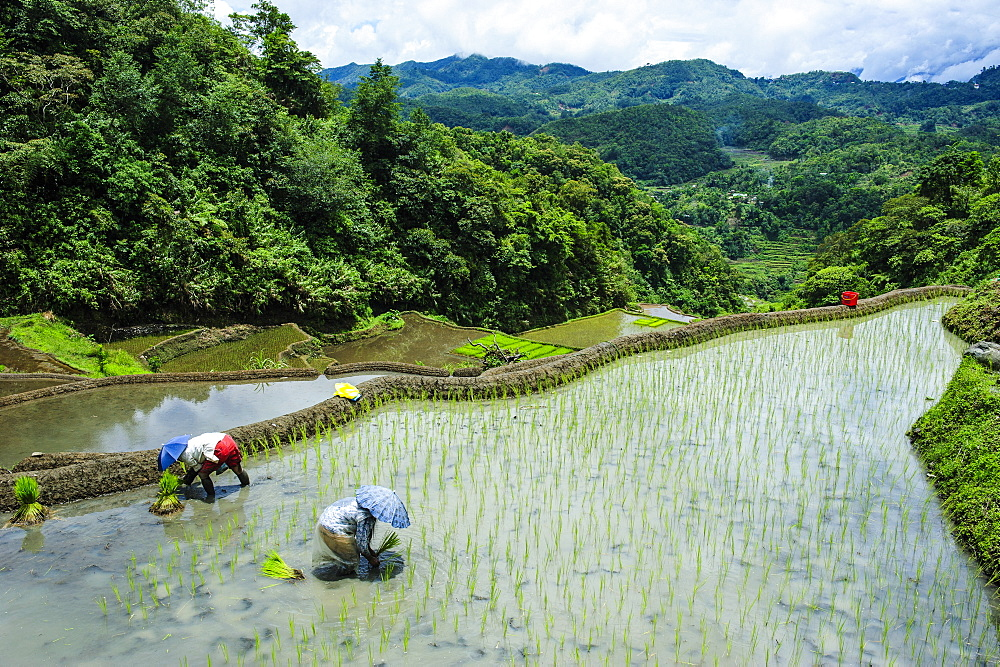 People harvesting in the rice terraces of Banaue, UNESCO World Heritage Site, Northern Luzon, Philippines, Southeast Asia, Asia