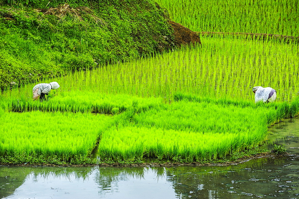 People harvesting in the rice teraces of Banaue, UNESCO World Heritage Site, Northern Luzon, Philippines, Southeast Asia, Asia