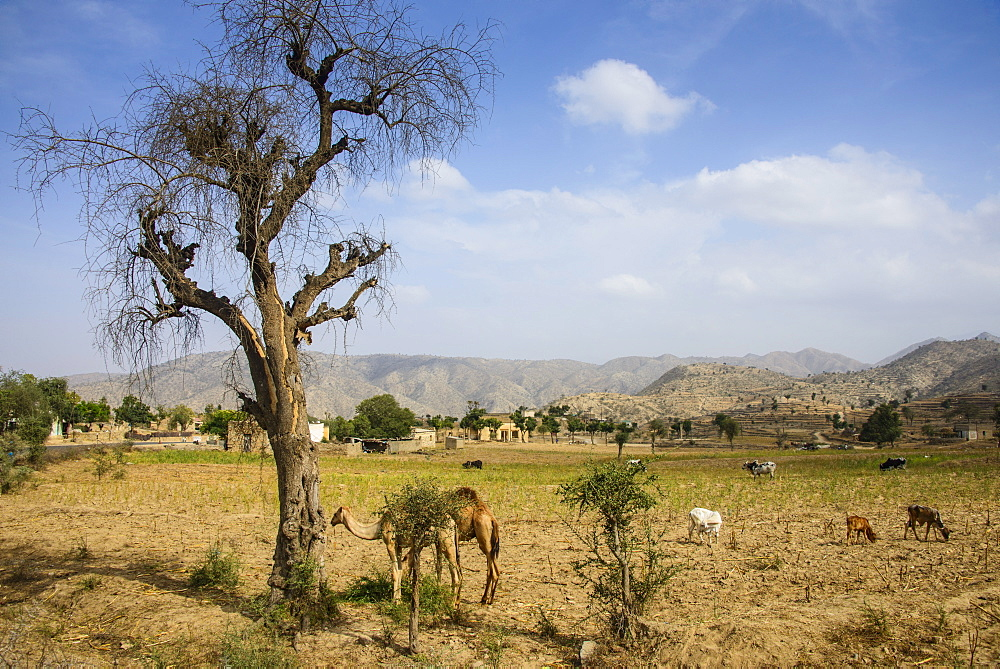 Camels grazing, along the road from Massawa to Asmara, Eritrea, Africa