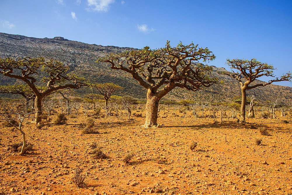 Frankincense trees (Boswellia elongata), Homil Protected Area, island of Socotra, UNESCO World Heritage Site, Yemen, Middle East