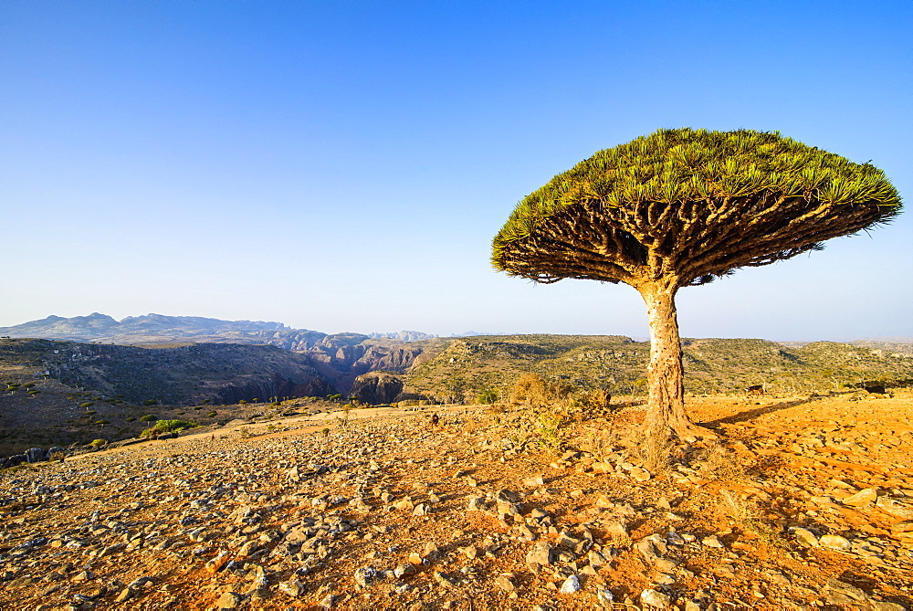 Dracaena cinnabari (the Socotra dragon tree) (dragon blood tree), Dixsam plateau on the island of Socotra, UNESCO World Heritage Site, Yemen, Middle East