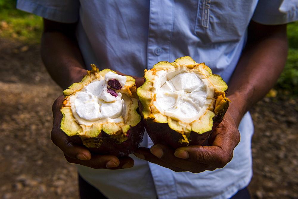 Man holding a open cocoa bean (cacao bean) (Theobroma cacao), Plantation Roca Monte Cafe, Sao Tome, Sao Tome and Principe, Atlantic Ocean, Africa