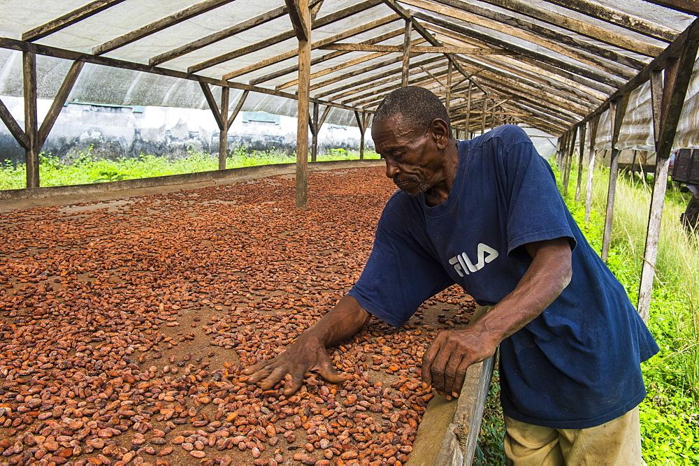 Man checking dry cocoa beans at the Cocoa plantation Roca Aguaize, East coast of Sao Tome, Sao Tome and Principe, Atlantic Ocean, Africa
