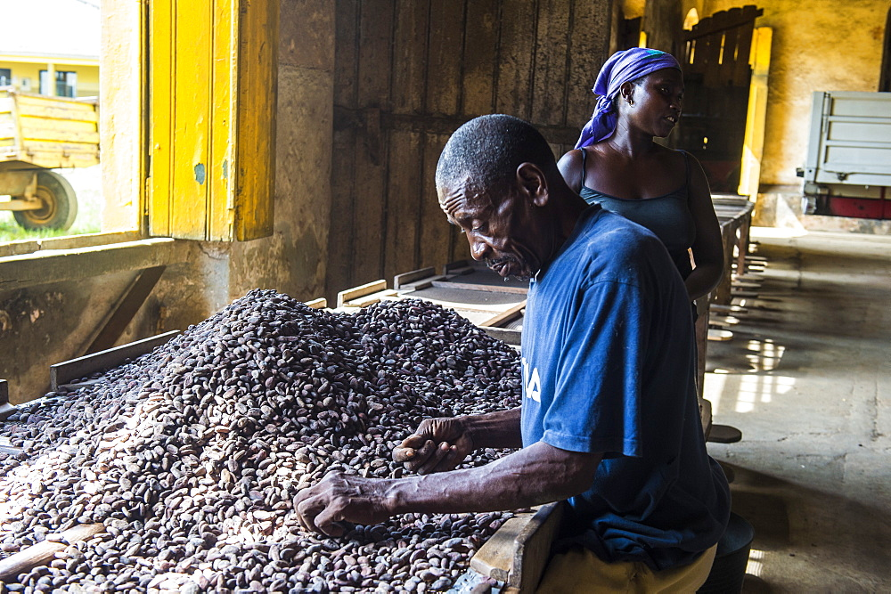 Man collecting cocoa beans at the Cocoa plantation Roca Aguaize, East coast of Sao Tome, Sao Tome and Principe, Atlantic Ocean, Africa