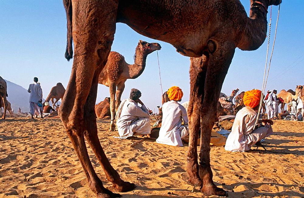 November camel fair, Pushkar, Rajasthan, India - 817-10095
