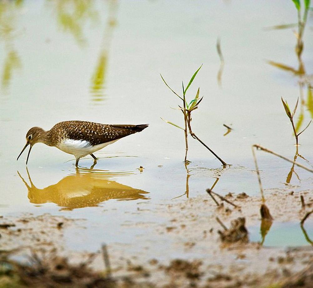 Curlew Sandpiper (Calidris ferruginea), Pantanal Matogrossense National Park, Mato Grosso, Brazil