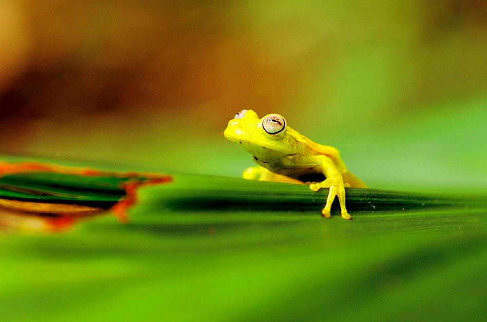 Tree Frog (Hyla punctata), Manu National Park, Peru - 817-10212