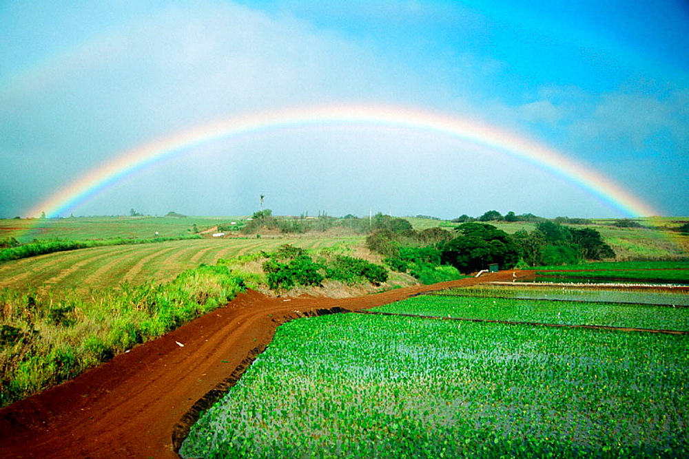 Rainbow and taro (Colocasia esculenta) field, Oahu, Hawaii, USA