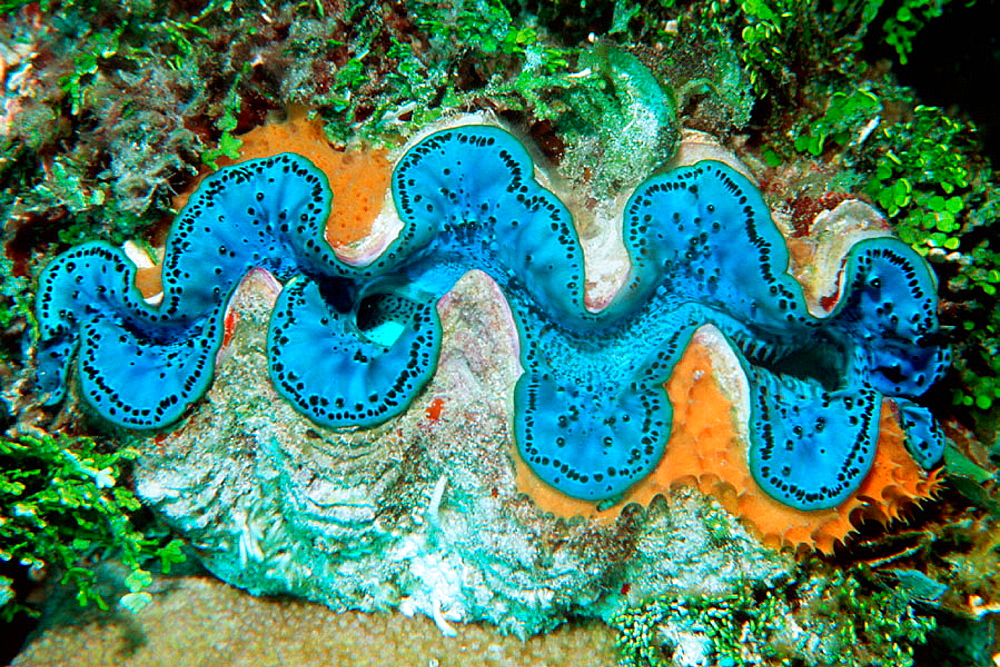 Giant Clam (Tridacna maxima) with encristing sponge, Rongelap atoll, Marshall Islands (North Pacific)