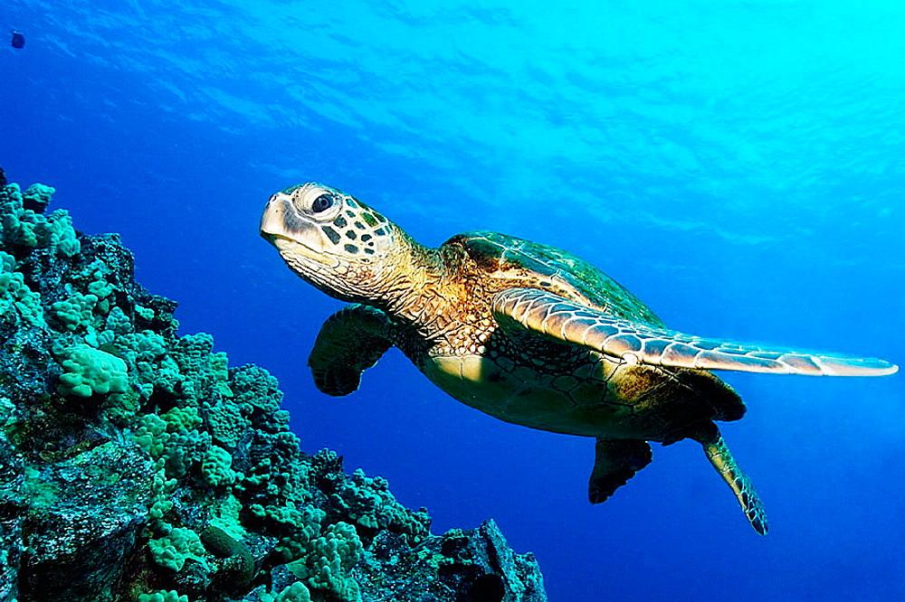 Green sea turtle, Chelonia mydas, Kailua-Kona, Hawaii, (Pacific)