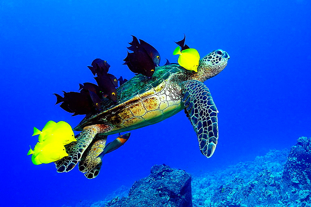 Green sea turtle, Chelonia mydas, gets cleaned by yellow tangs, Zebrasoma flavescens and lined bristletooth, Ctenochaetus striatus, Kailua-Kona, Hawaii, (N, Pacific)