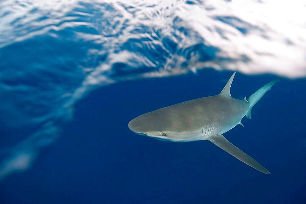Galapagos shark, Carcharhinus galapagensis, Oahu, Hawaii