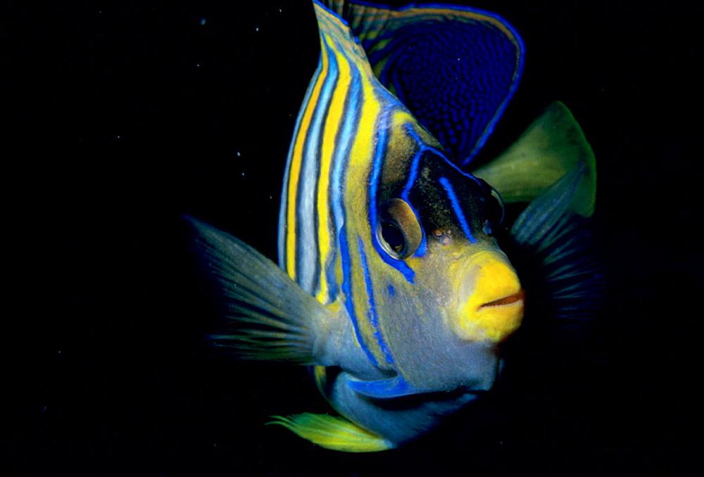 Regal Angelfish (Pygoplites diacanthus), Vanuatu Islands