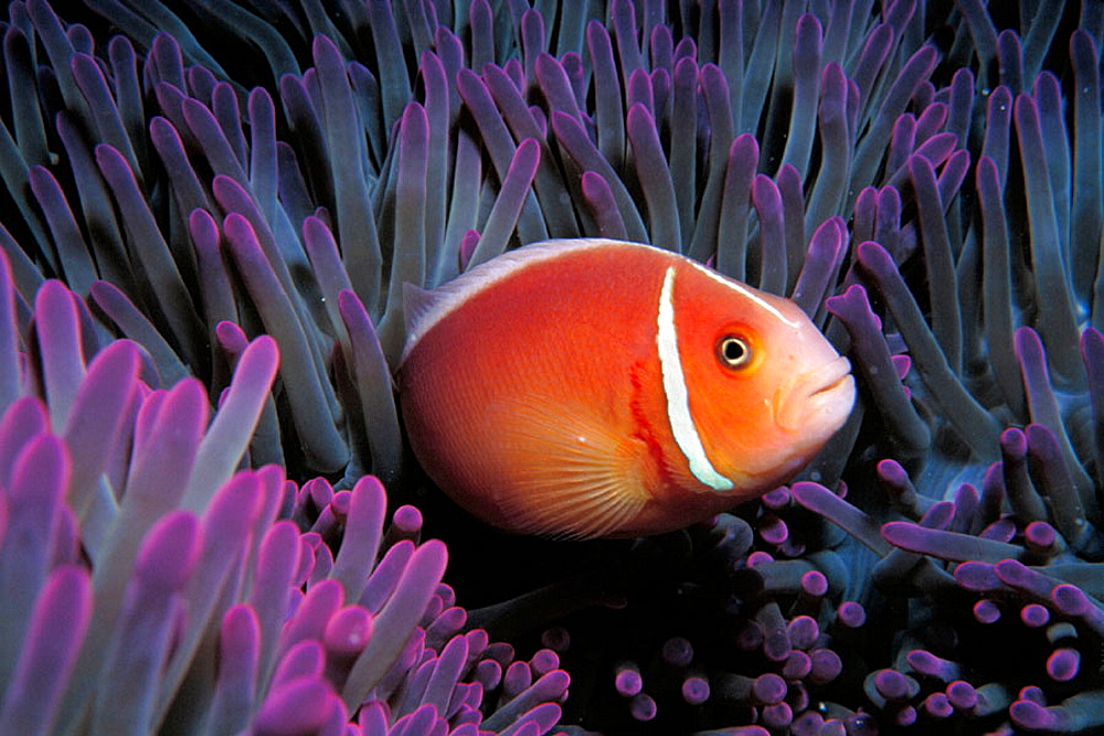 Pink Anemonefish (Amphiprion perideraion) and anemone, Great Barrier Reef, Australia