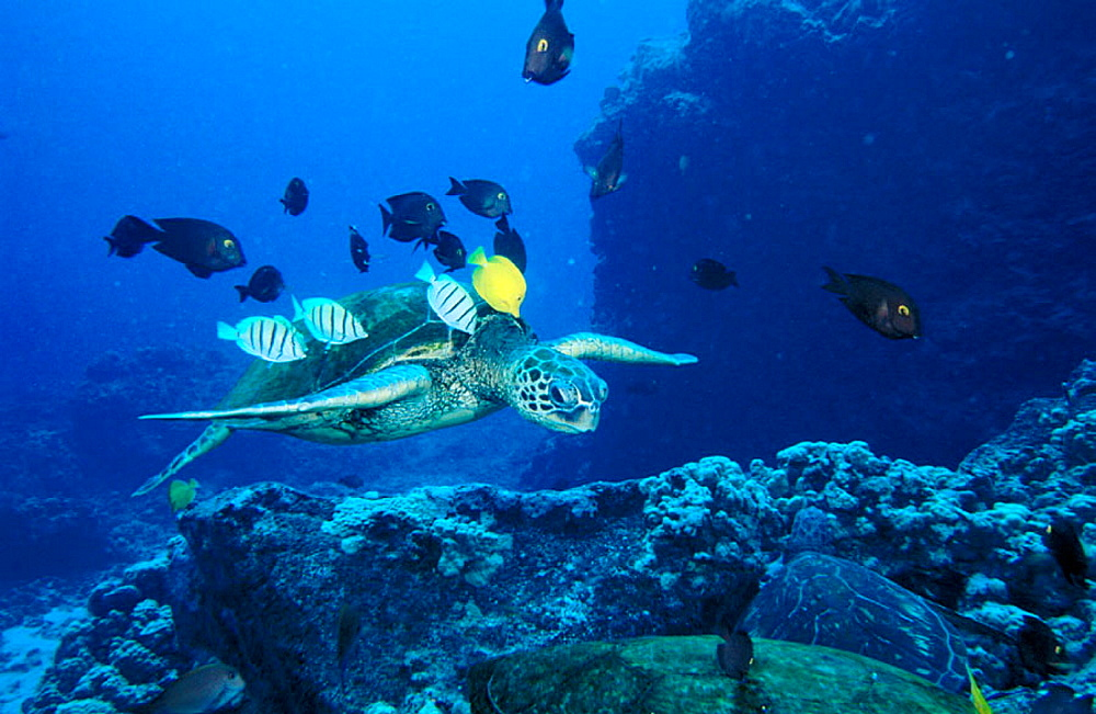 Tropical reef fish (Acanthurids) feed on the algae growing in the Green sea turtles (Chelonia mydas) back, Hawaii
