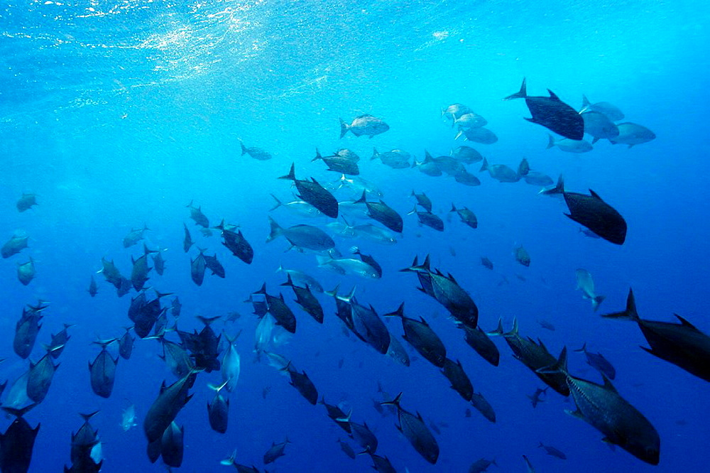 Black jacks, blue runners and chubs, Caranx lugubris, Carangoides crysos and Kyphosus sectatrix, schooling in open water, St, Peter and St, Paul's rocks, Brazil, Atlantic Ocean