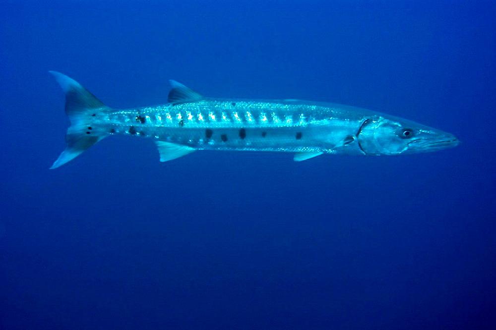Great barracuda, Sphyraena barracuda, St Peter and St Paul's rocks, Brazil, Atlantic Ocean