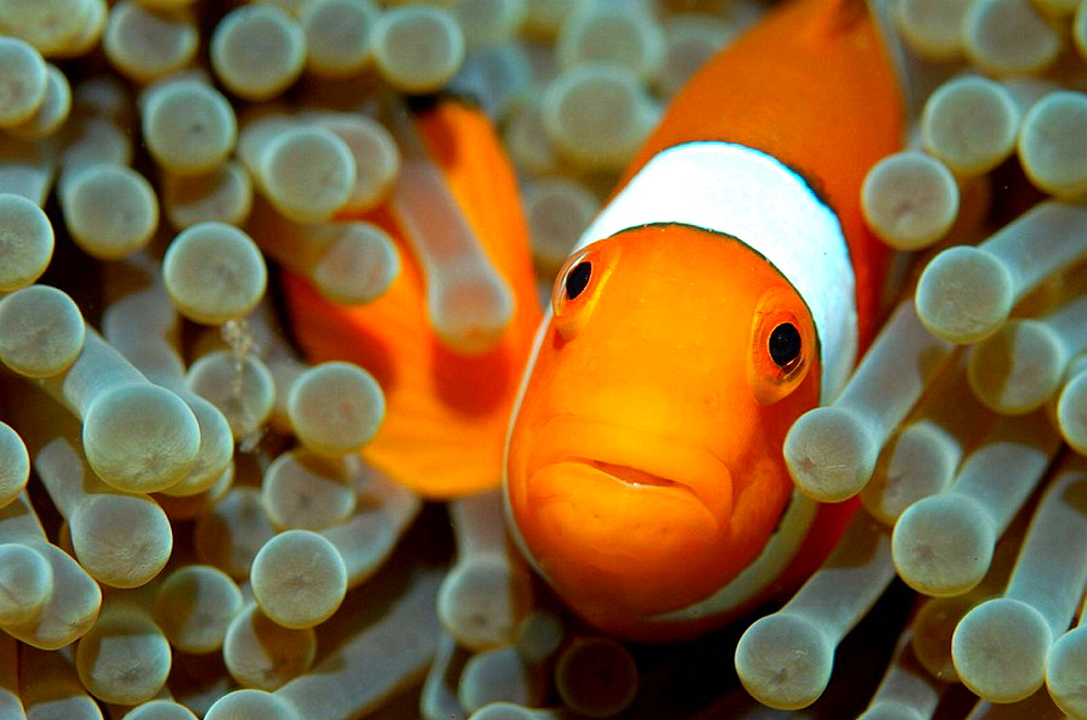 False clown anemonefish (Amphiprion ocellaris) hiding in a sea anemone