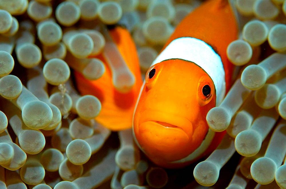 False clown anemonefish (Amphiprion ocellaris) hiding in a sea anemone