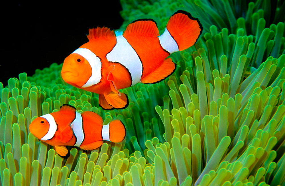 Clown Anemonefish (Amphiprion percula), Solomon islands