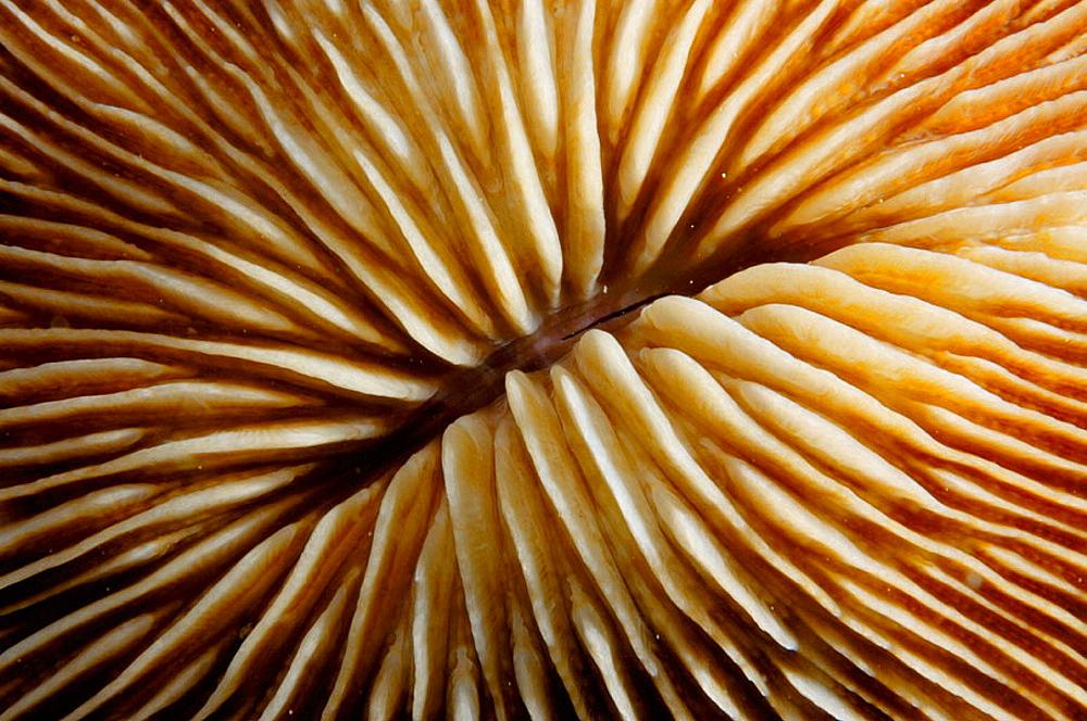Mushroom coral detail (Fungia sp.), Ha'apai Group, Tonga, South Pacific Ocean.