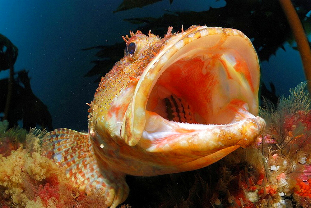 Northern scorpionfish yawning (Scorpaena cardinalis), Middle Arch, Poor Knights Islands, New Zealand, South Pacific Ocean.