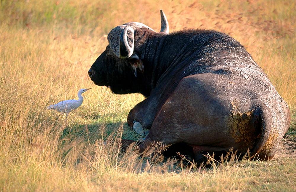 Buffalo, Ngorongoro crater, Tanzania