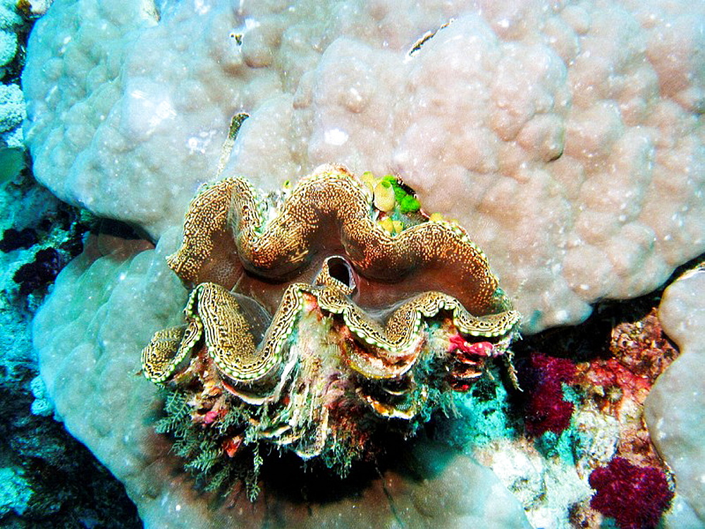 Giant Clam, Agincourt Reef, Great Barrier Reef, North Queensland, Australia